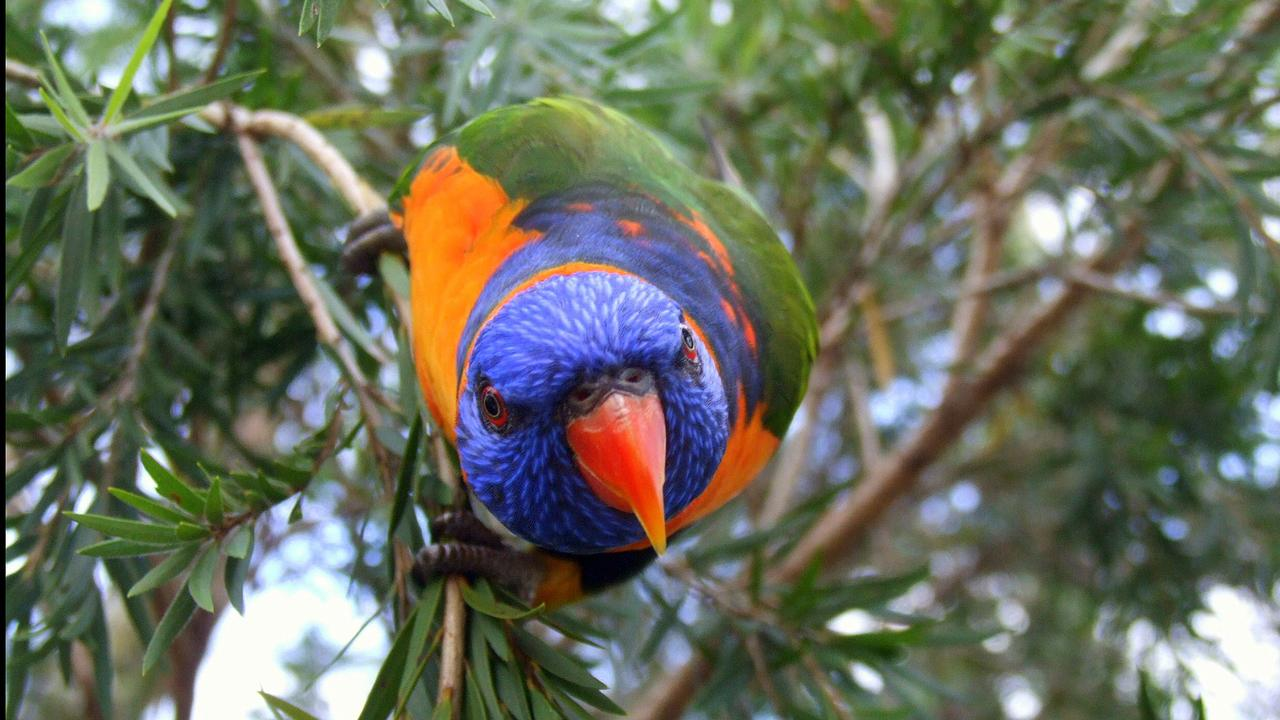 BIRDS OF A FEATHER: Rainbow Lorikeets topped the charts in last year's Bird Count, followed by the Noisy Miner, and Australian Magpie.