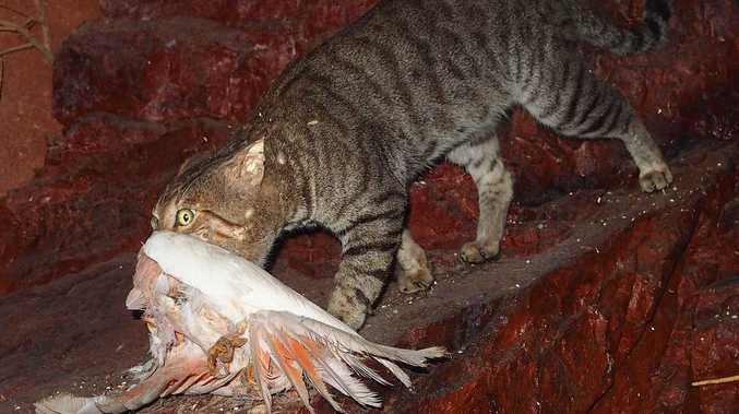 Noosa to hear of cat-astrophic decline of native species