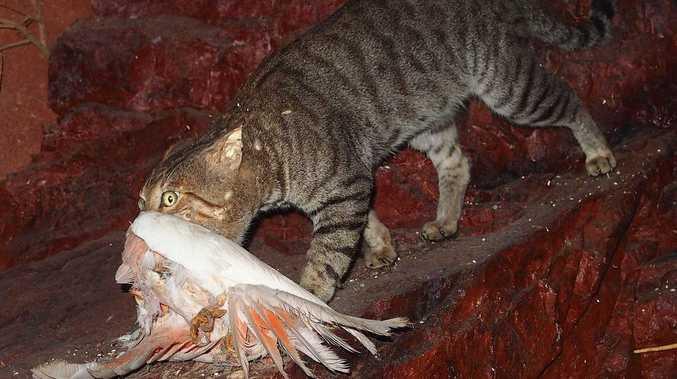 Noosa to hear of cat-astrophic decline of native species