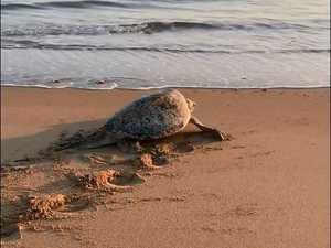 Turtles arrive at Bucasia Beach