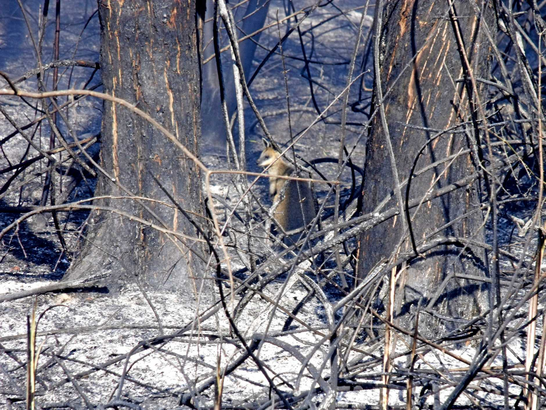 Wildlife has been greatly affected by recent bushfires near Drake and Rappville.