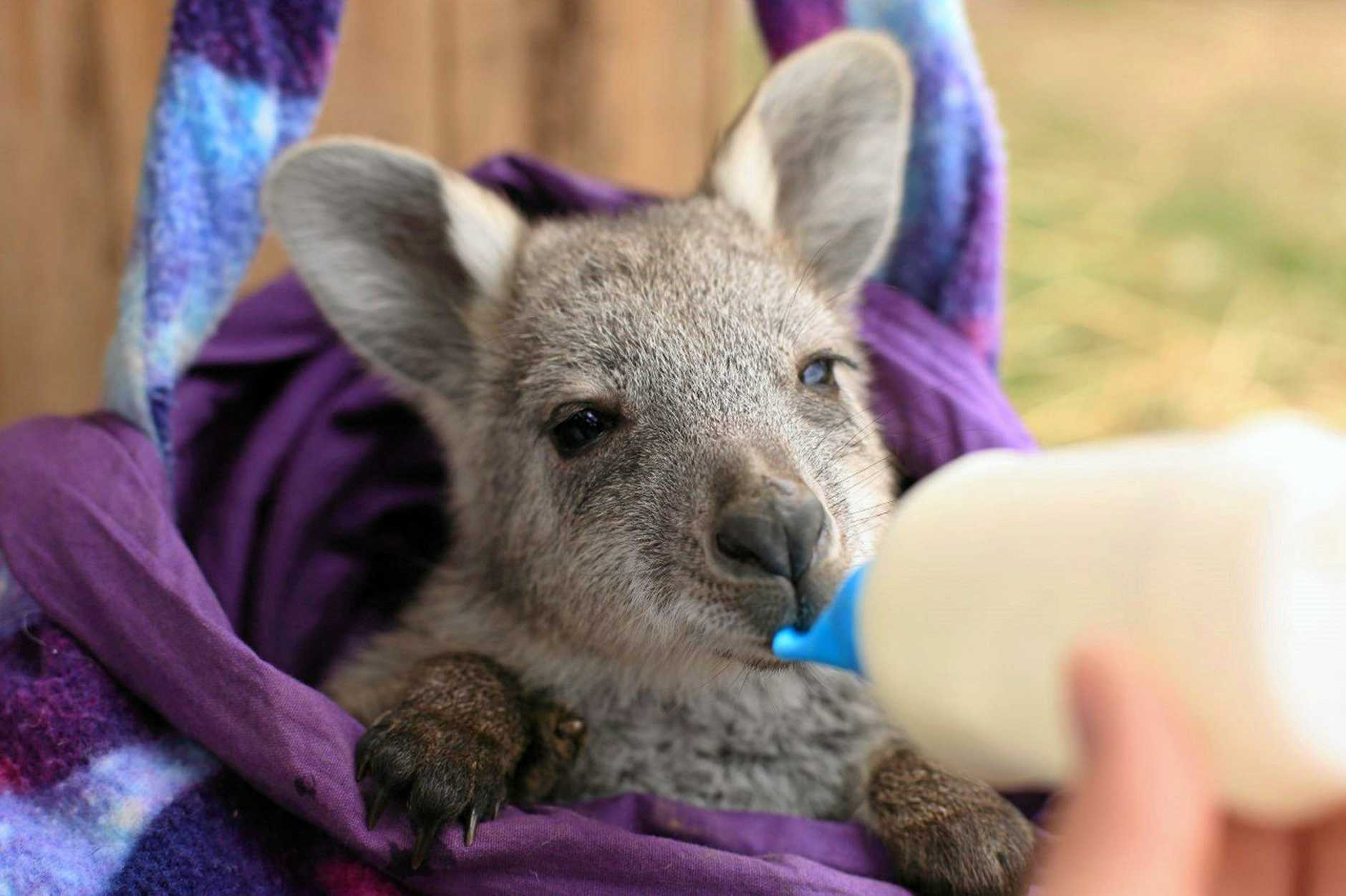 WIRES has made a public appeal to help to save NSW's drought stricken native animals.