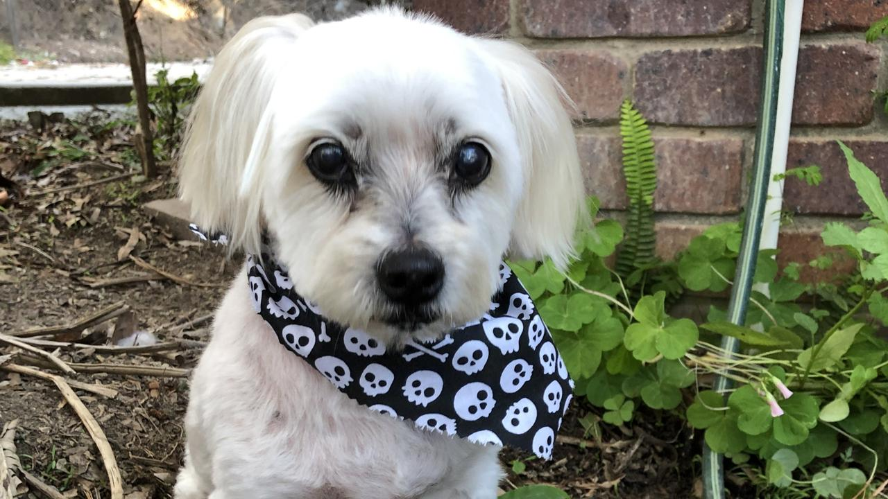 Bella the 16-year-old Maltese cross has been reunited with her Brisbane owners after being missing for 19 months. She was handed in to a veterinary clinic on the Sunshine Coast where her microchip was scanned. Picture: Colleen Millar