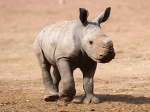 Bittersweet! A rare rhino calf dies, a cute giraffe is born