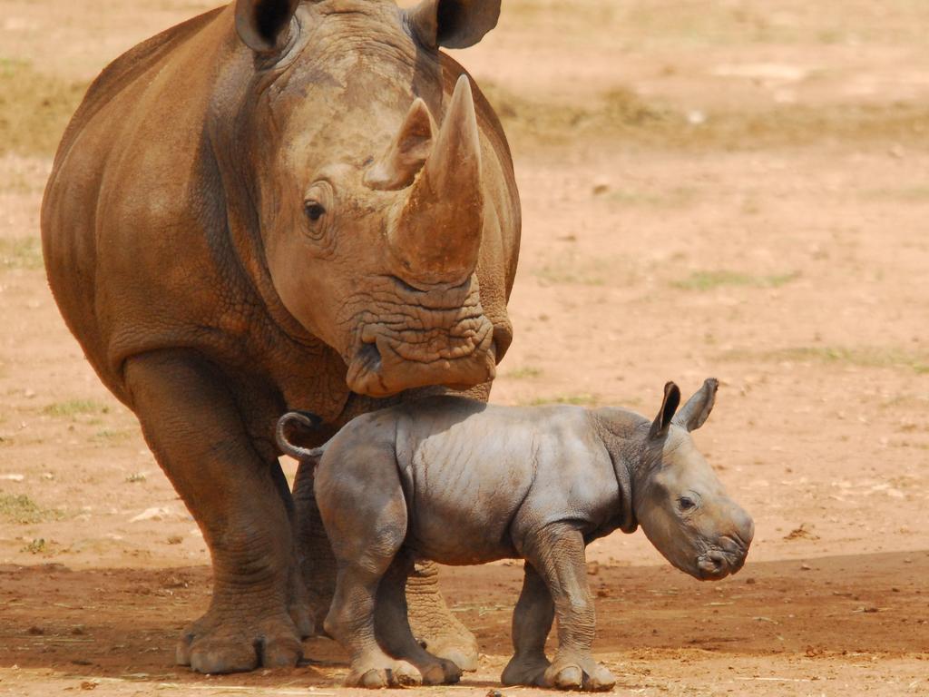 Umqali with her rhino calf Imani. Picture: Zoos SA / Geoff Brooks