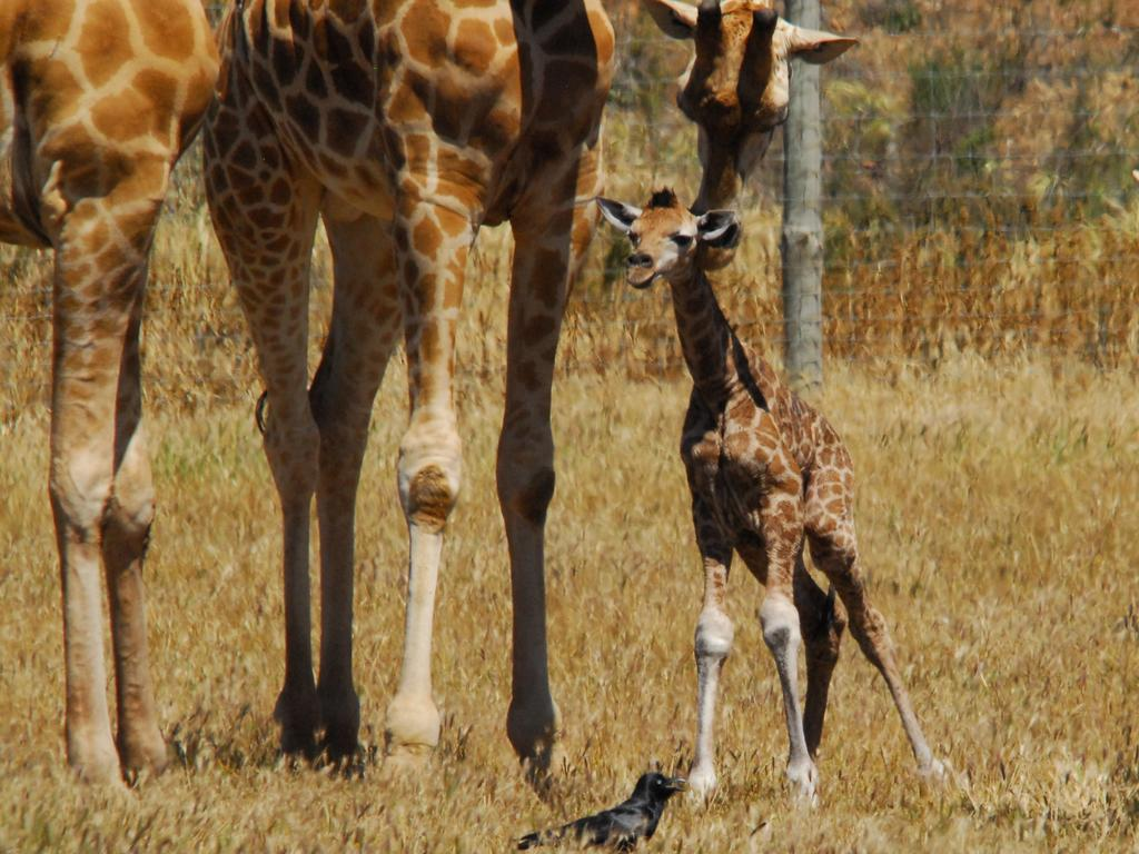 The new giraffe calf is the 48th one born at Monarto. Picture: Zoos SA