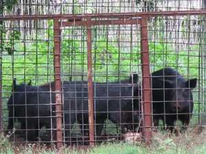 'Holistic approach' to feral pigs in Wide Bay Burnett