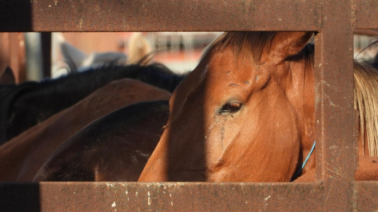 Some of the horses filmed by Animal Liberation Queensland as being at the Meramist Slaughterhouse in Caboolture. Picture: Animal Liberation Queensland