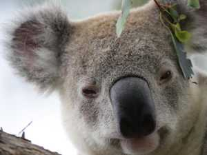 Koala hit by car was only released into wild a month ago