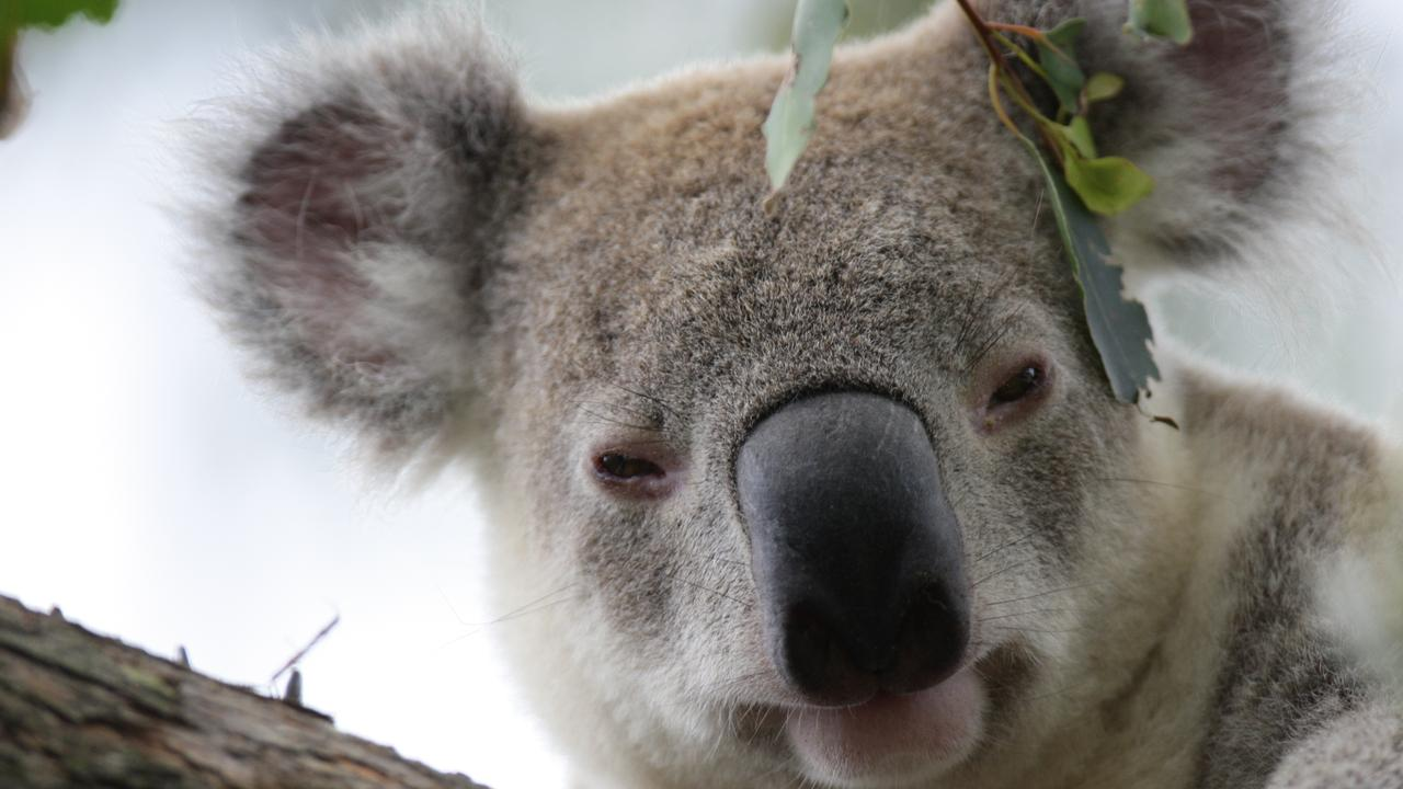 A female koala hit by a car near Redland Hospital had to be euthanased due to head injuries. It had only been released back into the wild a month ago.