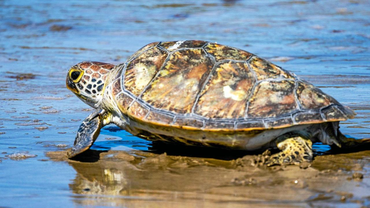 The remains of a turtle was found along the Pioneer River in Mackay. Picture: Mick Barker