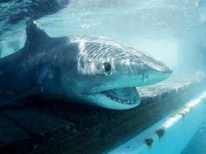 Alarming stat about the sharks in Mackay-Whitsunday waters