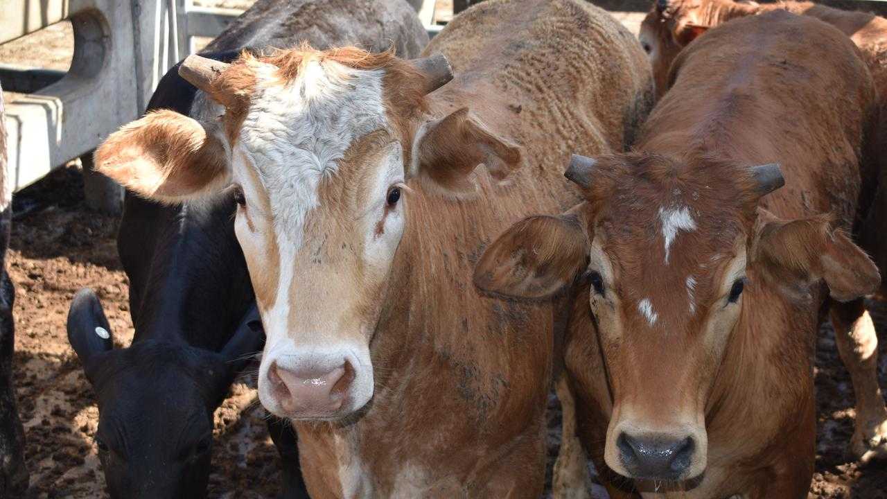 Cattle at the weekly Gracemere cattle sale at CQLX.