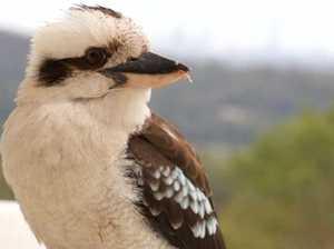 Angry diner 'rips kookaburra's head off'