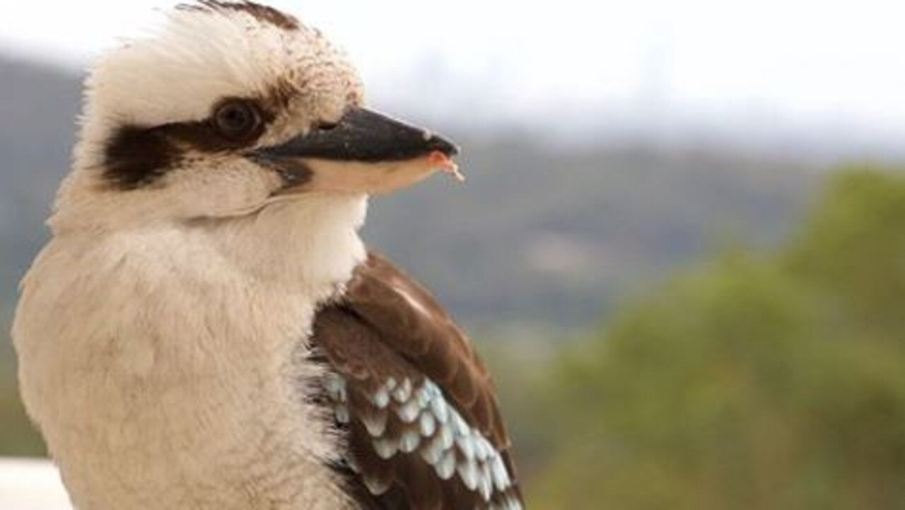 A man who allegedly killed a kookaburra could face prosecution. Picture: @mazmoments_photography