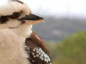 Police closing in on kookaburra killer