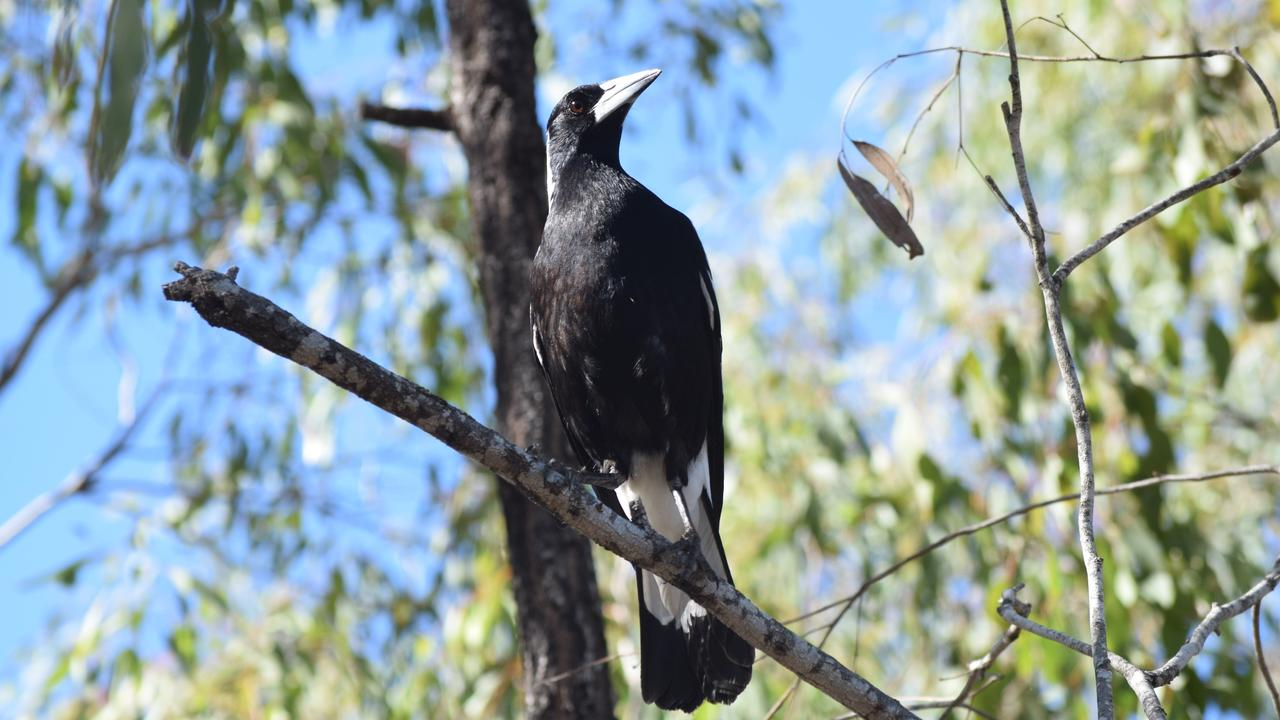 The magpie was used as an emblem of hope in a new book set in Mackay.
