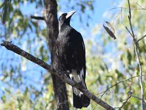 Magpie the 'beacon of hope' in Mackay-based book