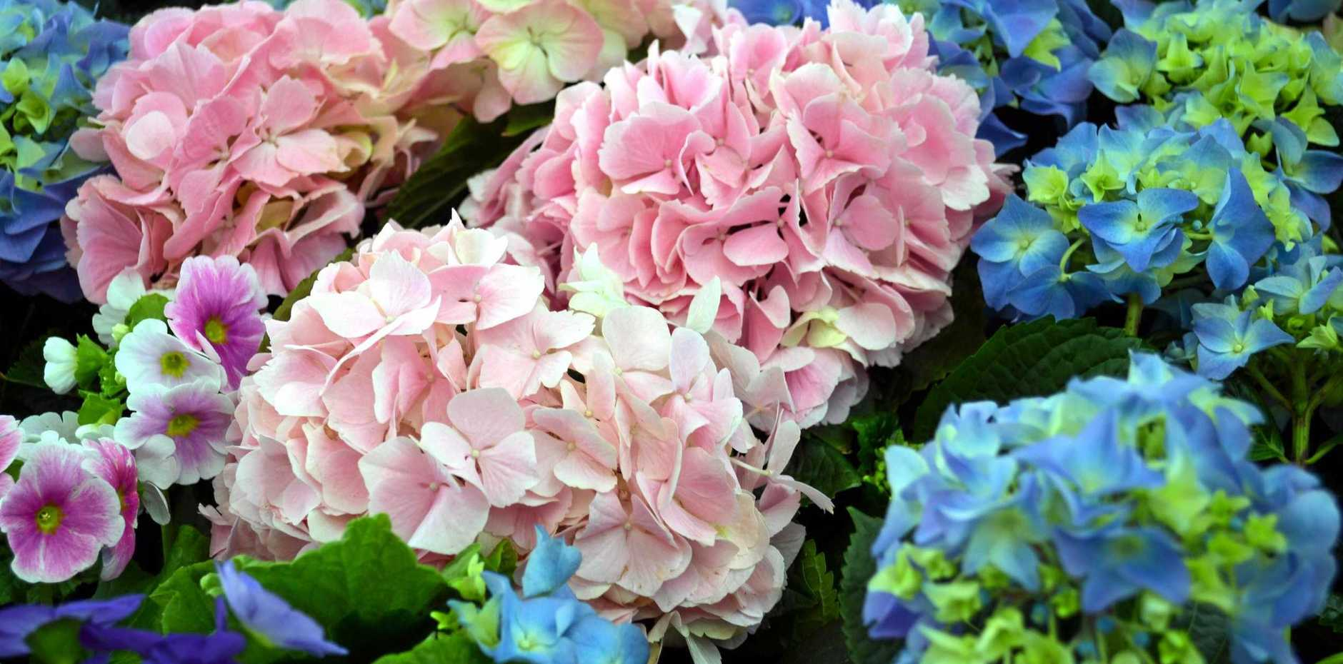 Hydrangeas are an easy-care, fast-growing deciduous shrub to 1-3m.
