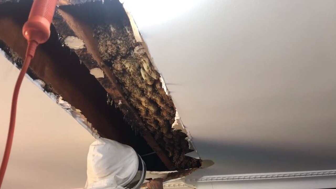 The incredible hive discovered in the roof. Picture: ABC Brisbane