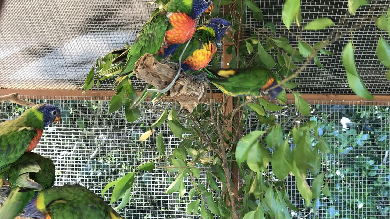 These lorikeets are ready for release back into the wild.