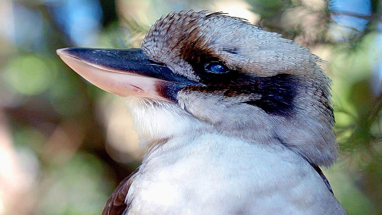 A man ripped a Kookaburra's head off in Western Australia. Picture: ISABELLA LETTINI