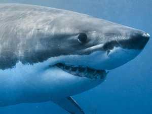 Renewed call for Whitsunday shark control program