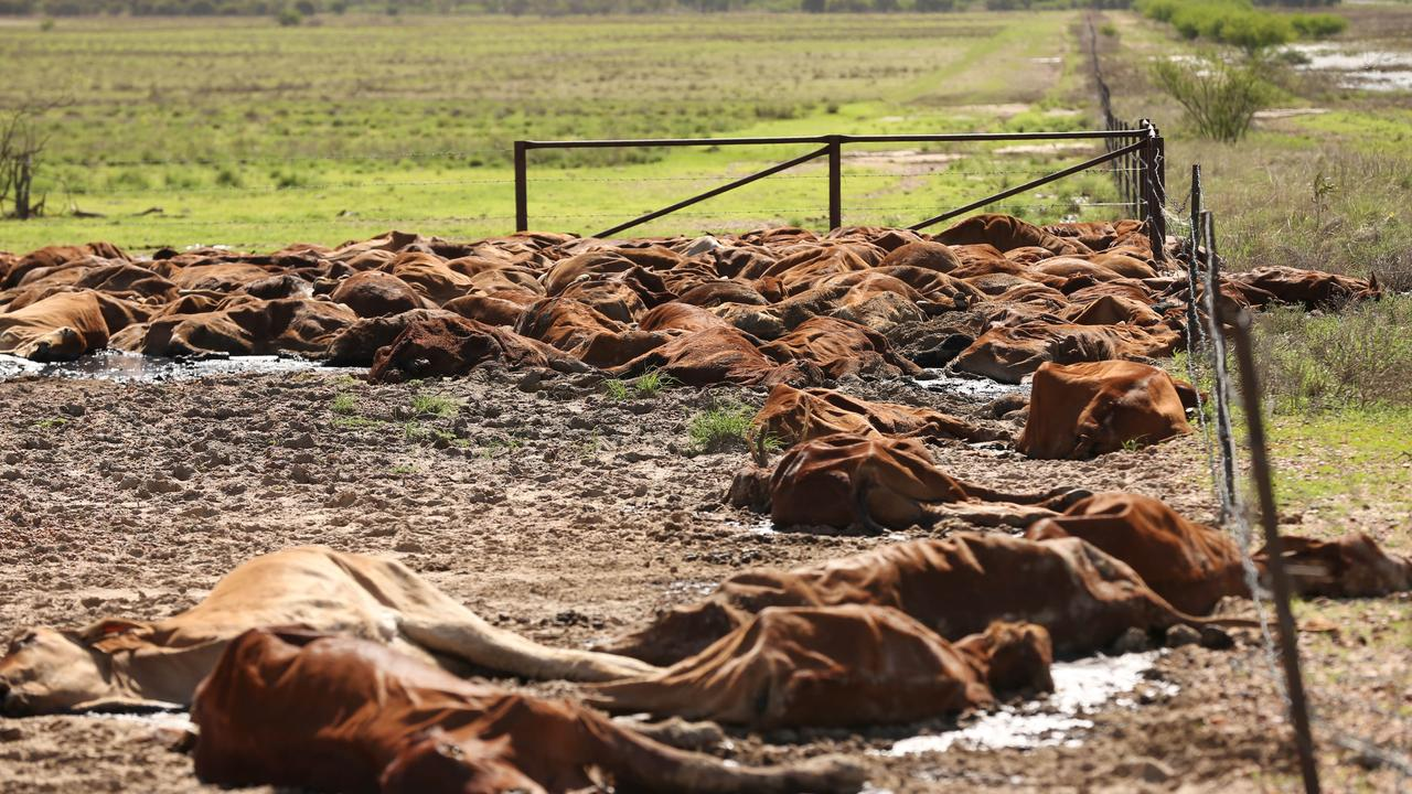 A mass of dead cattle west of Julia Creek earlier this year after floods swept through the area. Lyndon Mechielsen/The Australian
