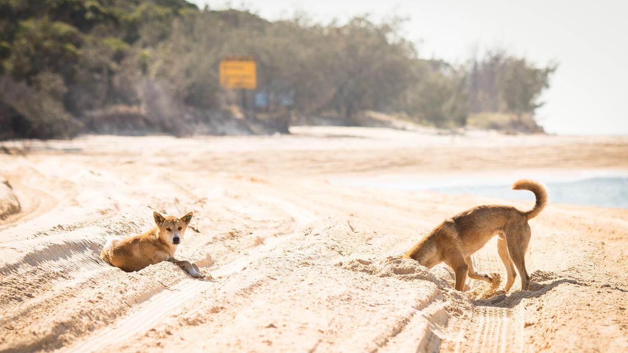 Fraser Island Dingoes play around in the sand.