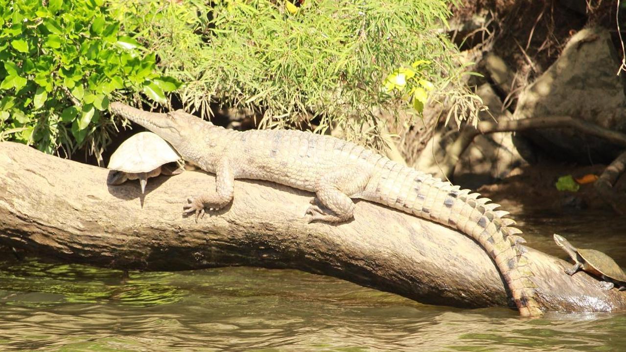 Freshwater crocodile resting its head on a turtle along the Barron River at Kuranda. Photo: Kuranda Riverboat