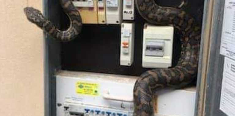 A snake was removed after it became stuck in a power box at Chandler. PICTURE: Facebook