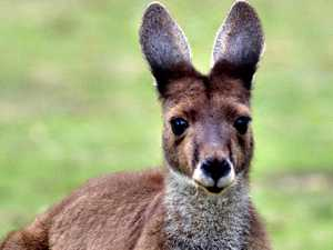 Motorcyclist, kangaroo collide in Toowoomba suburb