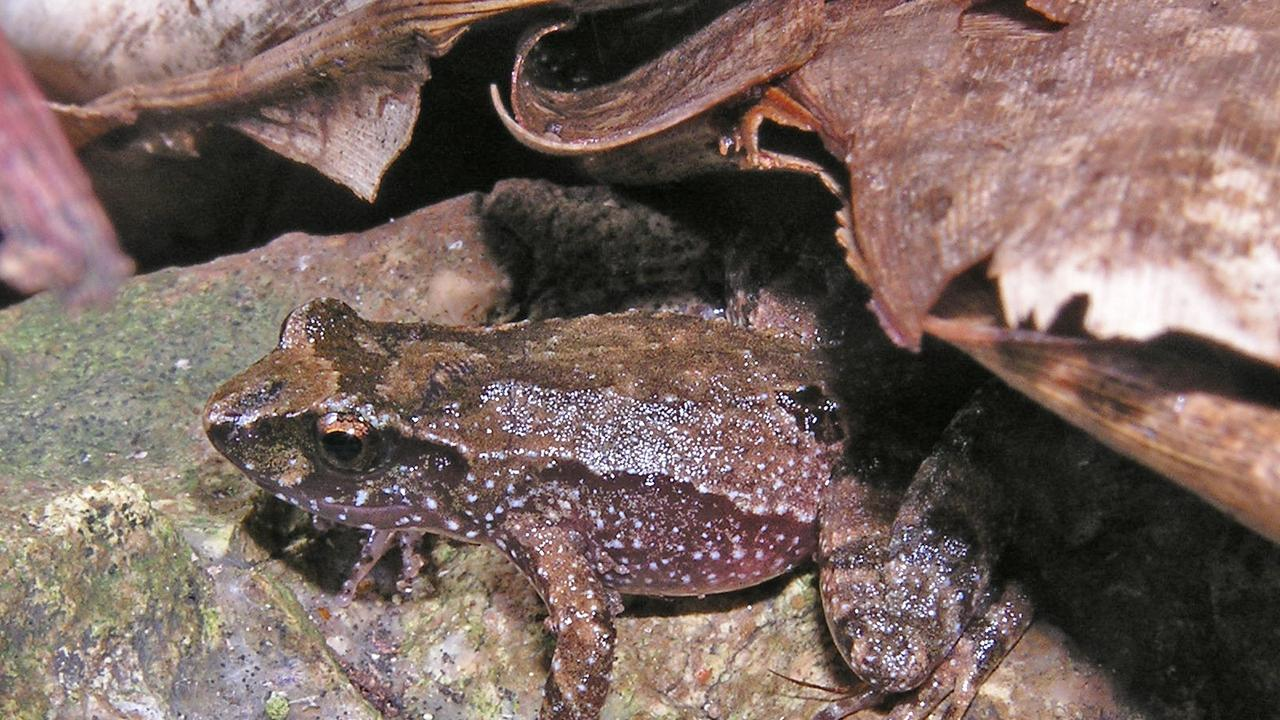 For the next three years, the Queensland Frog Society will undergo an intensive study, in a Queensland Government-funded initiative, to help conserve the threatened species.