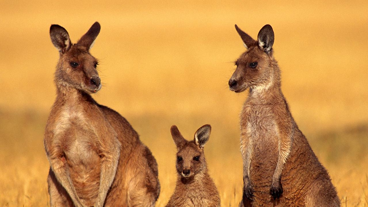 NO MORE: Under a suspension of kangaroo harvesting, Eastern Greys, Red Kangaroos, and Common Wallaroos cannot be taken. The future ban will affect the entire southwest corner, from Hughenden and Richmond, back east to Dalby, right through to the border.