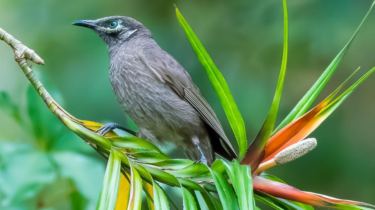 The Eungella honeyeater is a species of bird found only in the Eungella rainforest.