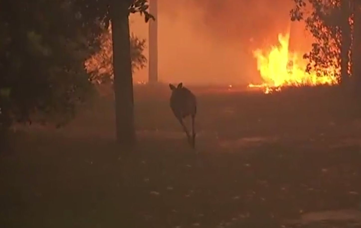 A kangaroo escapes the flames at Cooroibah this evening.