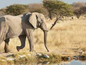 Aussie man killed by elephant