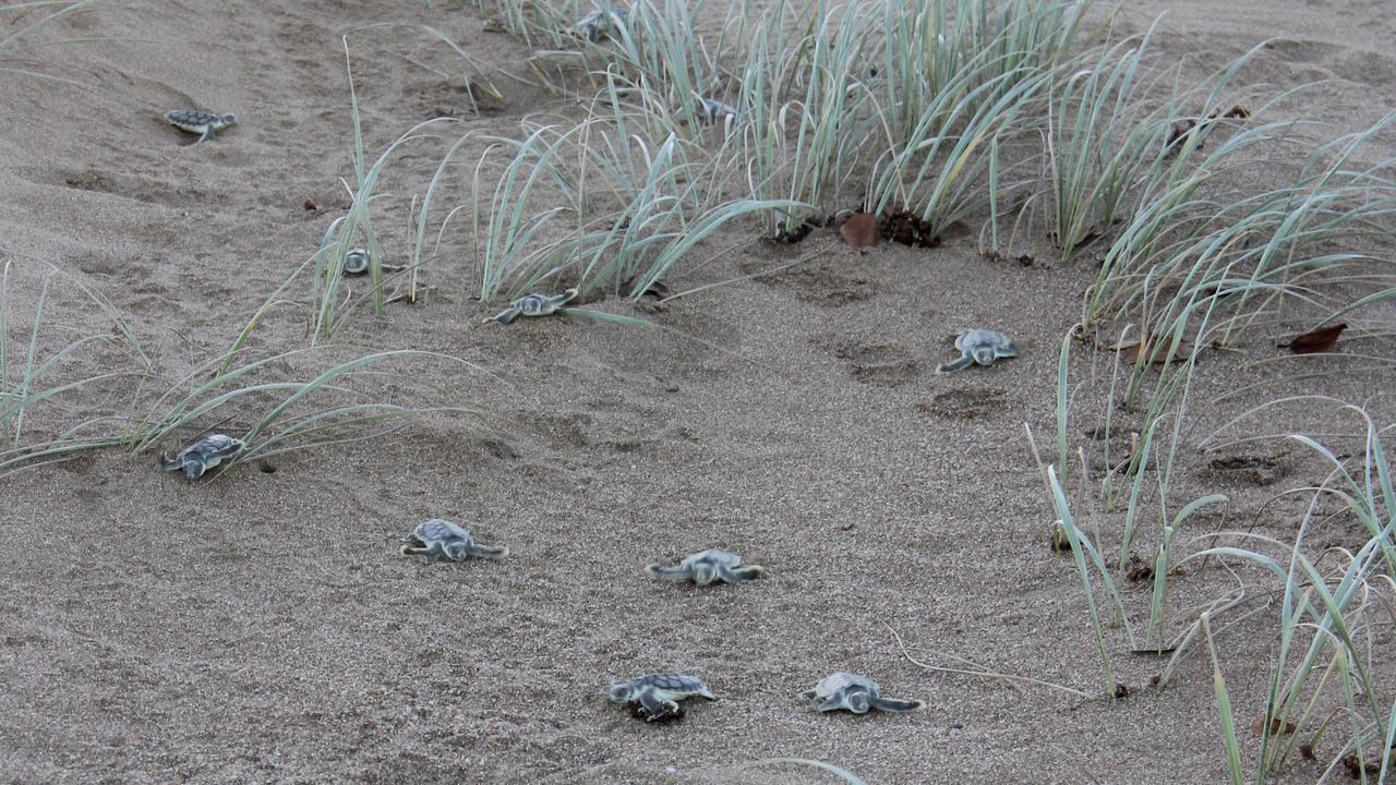 Flatback turtle hatchlings making their way to the ocean.