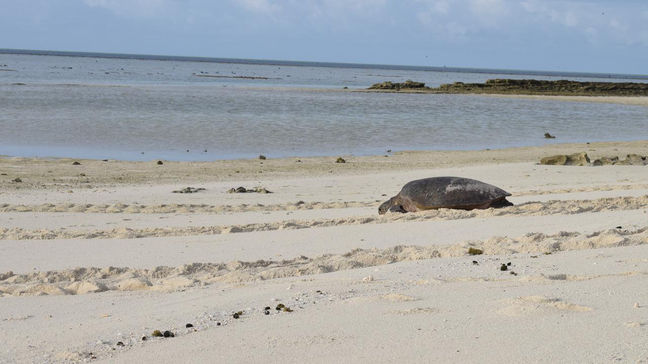 A turtle making her way back to the ocean after nesting at Heron Island.