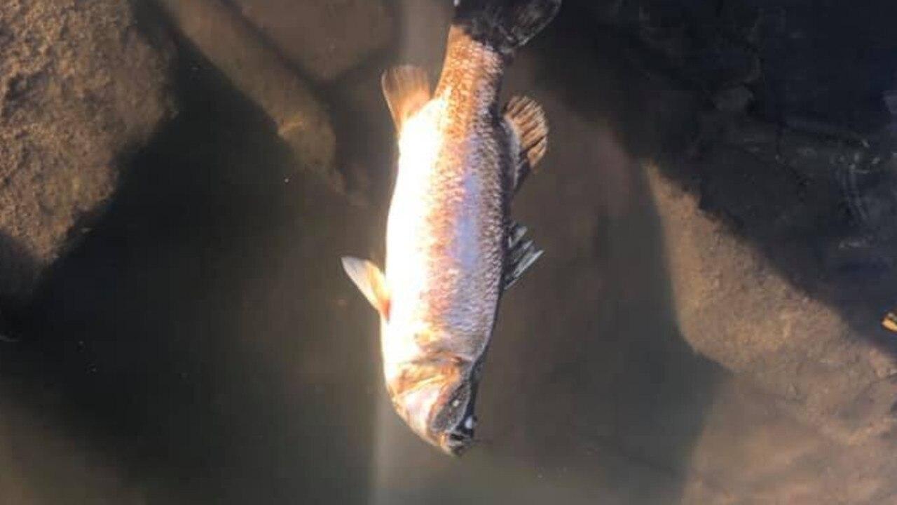 Mackay fisher Nic Mason encountered a fish kill at Dumbleton Weir at the weekend. Picture: Nic Mason.