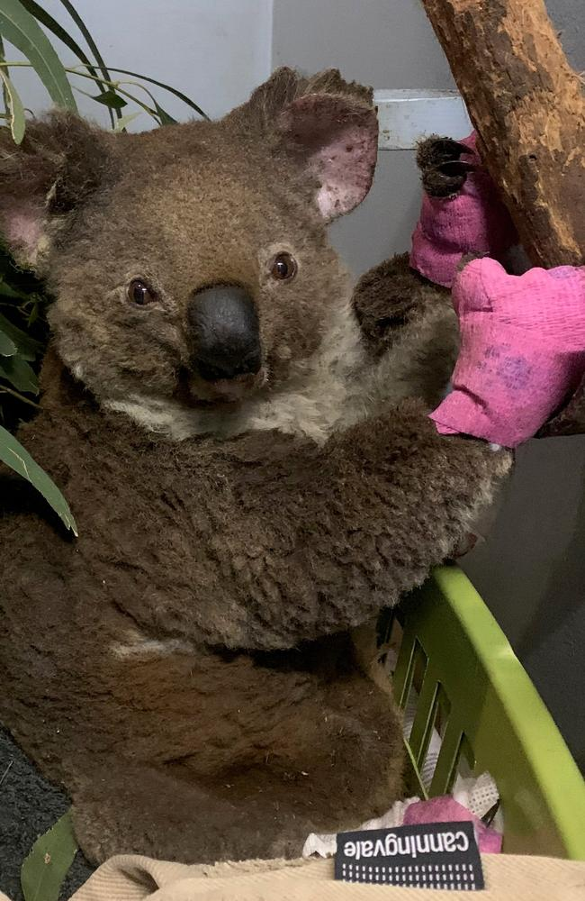 Rescued koala Anwen at the Port Macquarie Koala Hospital. Picture: Supplied