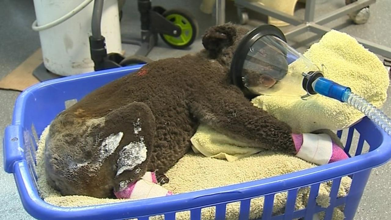 This koala found at Lake Innes Nature Reserve had burns to his hands and feet and singeing of 90 per cent of the body. Picture: Koala Hospital, Port Macquarie