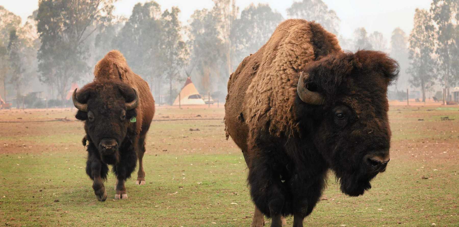 Bison are safe at Aranyani Bison Adventure Tourist Park.