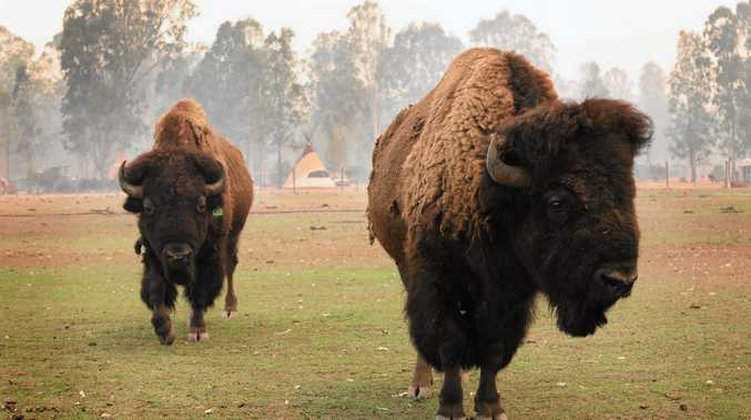 36 bison at tourist park ready for onslaught of fire