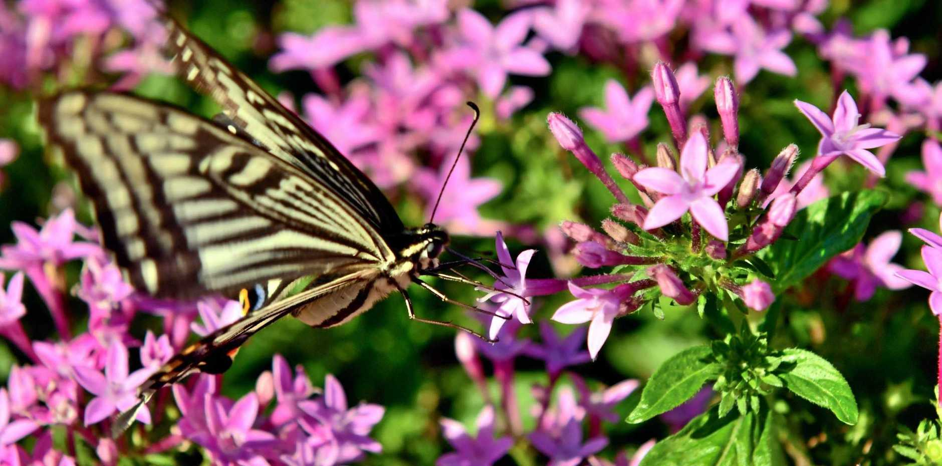 Pentas plants attract butterflies and bees.