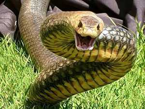 'It's full on': Brown snakes in 'big numbers'