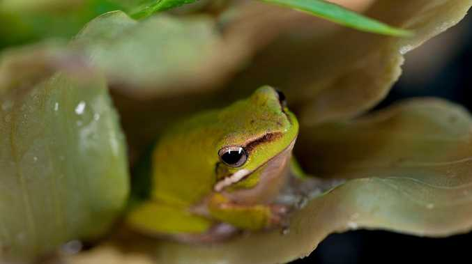 Record a frog call and help save a vital species