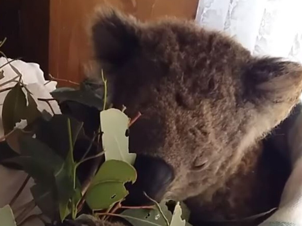 Koalas In Care is looking after a few dozen koalas caught up in the devastating bushfires.