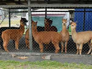 Safe haven for furry evacuees at Lismore Showgrounds