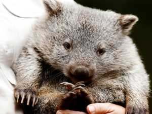 New home for 200 wombats on death row
